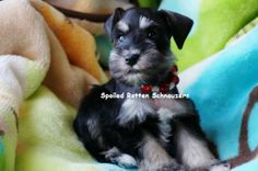 black and silver teacup | toy schnauzer. photo taken by spoiled rotten schnauzers