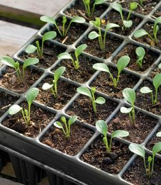 Here are 7 easy tips to start seeds in the winter. You'll start in February. If you prefer organically grown plants, it's best to start your own seeds indoors. Do you have any seed starting tips to share? Garden Seeds, Garden Plants, Garden Soil, Organic Gardening, Gardening Tips, Starting Seeds Indoors, Seed Starting, Growing Plants, Growing Seeds