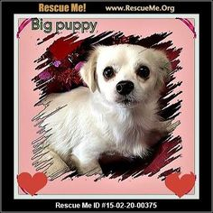 Rescue Me ID: 15-02-20-00375Big Puppy (male)  Maltese Mix    Age: Puppy  Compatibility:	 Good with Most Cats, Good with Adults (Not Kids)  Personality:	 Low Energy, Very Submissive  Health:	 Neutered, Vaccinations Current       This little guy weighs in at 11.5 pounds. He's very shy. Looks like he's never been out of his limited environment but he's learning slowly that humans might be nice to have around. He's heartworm negative, neutered, vaccinated,etc etc etc and his adoption fee is ...