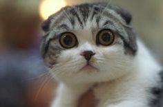 les plus belles races de chats - Recherche Google