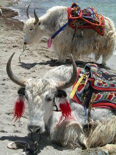 Tibetan yaks ... amazing!