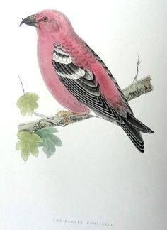 Morris Two-Barred Crossbill 1892 History of British Birds Woodblock Engraving #Vintage123yearsold