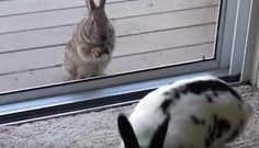 Wild rabbit spots pet bunny, falls madly in love.