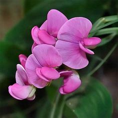 25+ Sweet Pea Pink Pearl Flower Seeds , Under The Sun Seeds