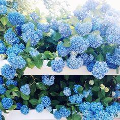 Bluebies