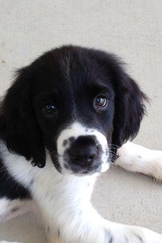 Spring spaniel puppy