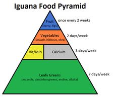 Learn about iguana nutrition with this iguana food pyramid!