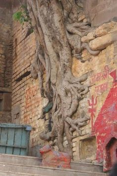 Tree roots along the wall. Tree roots along the Varanasi, Weird Trees, Unique Trees, Old Trees, Tree Roots, Tree Forest, Magical Forest, Growing Tree, Plantation