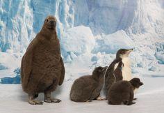 SeaWorld Orlando Celebrates National Penguin Awareness Day with 15 Penguin Chicks Penguin Awareness Day, Orlando Theme Parks, Pride Rock, Seaworld Orlando, King Penguin, Cute Penguins, Exotic Fish, Sea World, Beautiful Creatures