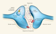 The unexpected finding that neurons can co-release two neurotransmitter molecules, dopamine and GABA, through a common mechanism provides a further advance in our understanding of the nervous system. From Neuroscience: Promiscuous vesicles, John T. Williams, Nature 490, 178–179 (11 October 2012) #brain Nature Publishing Group