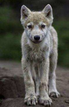 beautiful-wildlife: Wolf Pup by Daniel Parent Wolf Photos, Wolf Pictures, Animal Pictures, Animals And Pets, Baby Animals, Cute Animals, Strange Animals, Beautiful Creatures, Animals Beautiful