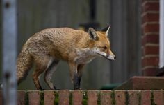 Conservative Party to 'legalise fox hunting if they win general election 2015′