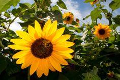 Sunny+Bees=Honey