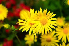 Yellow Flowers, Flowers Garden, Garden Planning, Daisy, How To Plan,  Search, Spring, Searching, Bellis Perennis, Flower Beds, Garden Layouts