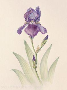 Iris germanica, ©2015 B. Strauch