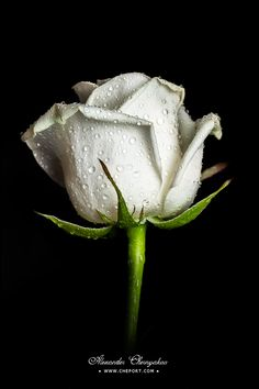 White rose with water drops on its petals isolated on black background