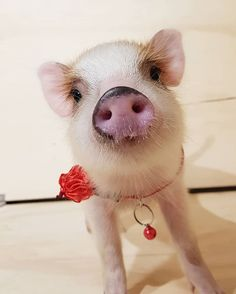 piggy_friendly_さんはInstagramを利用しています:「So cute. Awwww . Tag the friend who loves pig below. #piglove #piglover #piglets #piggylove #piggies #pigsofig #pigsofinsta #pigsaspets…」 Pig Facts, Mini Pigs, Cute Piggies, Cute Animals, Piglets, Instagram, Fluffy Animals, Animal Kingdom, Adorable Animals