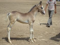 A Marwari foal, about a month old. The Marwari is the indigenous horse of India.