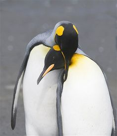 Image: Penguins (© Nature Picture Library/Rex Features)