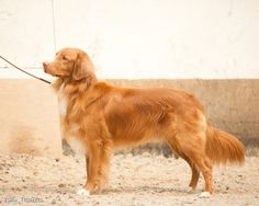 Most gorgeous Toller I've ever seen!