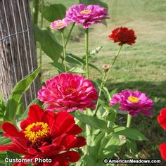 Blooming from mid-summer until frost, Zinnias add bright, bold color to literally any sunny spot – they are some of the easiest wildflowers to grow. Whether you're seeding a meadow or planting a formal garden, Zinnias are the perfect choice! These beloved annuals are deer resistant, long blooming and make for spectacular cut bouquets. No garden or meadow is complete without Zinnias! All of the seed we handle at American Meadows is non-GMO, neonicotinoid-free and guaranteed to grow. Annual.