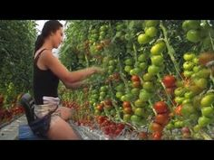 Intelligent Farming Process Tomato Seed Sowing, Tending and Harvesting Hydroponic Tomatoes, Hydroponic Gardening, Aquaponics, Tilapia Fish Farming, Quick Garden, Indoor Vegetable Gardening, Tomato Farming, Future Farms, Vertical Farming