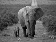 Mother and Calf, African Elephant (Loxodonta Africana), Addo National Park, South Africa, Africa Fotoprint van Ann & Steve Toon bij AllPosters.nl