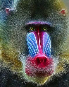 Mandrill Baboon   MANDRILL BABOON: Photo by Photographer Thanh Lam - photo.net
