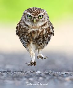 'Late As Usual' by Steven Ward  Burrowing Owl in a big hurry