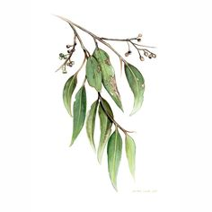 Australian Native Golden Wattle – Framed Limited edition print Ed. 1 of 100 by Darlene Lavett Eucalyptus Leaves and Gum Nuts painting (Size – Limited edition … Leaf Drawing, Plant Drawing, Botanical Drawings, Botanical Art, Watercolor Leaves, Watercolor Paintings, Watercolour, Leaves Sketch, Australia Tattoo