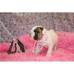 Dogs classifieds: Adorable English Bull Dog puppies