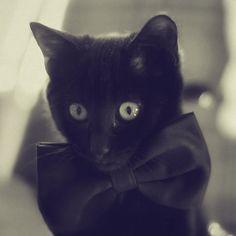 Black cat, bow tie.