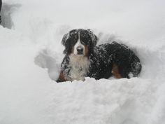 Bernese Mountain Dog. Makes me miss mine back home.