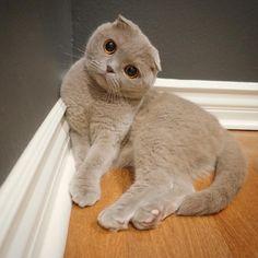 Milla the Cat - Scottish fold cat - Instagram // Nichify username: millathecat