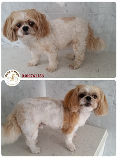 Ginger, Maltese x Shih Tzu. Full Groom. Ratty to Regal - Professional Dog Grooming Service in Bicton  with Lots of Love, Care, Patience and Treats:) Mob.: 04 02 761153 Ula Facebook: https://www.facebook.com/rattytoregal/  Website: https://rattytoregal.wixsite.com/rattytoregal