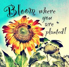 """8x 8 inch photo: sunflower with whimsical inspirational quote """"Bloom where you are planted"""" on Etsy, $15.00"""