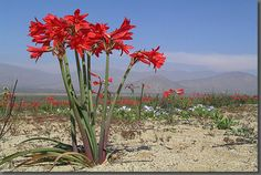 Photos of endemic and rare flowers of the Atacama desert in north Chile. Every few years after a rainy winter Desierto florido or desert in bloom occurs. Desert Flowers, Desert Plants, Wild Flowers, Rare Flowers, Exotic Flowers, Amazing Flowers, Flora Flowers, Photo Desert, Wildwood Flower