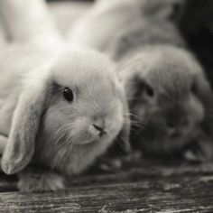 If you are looking for a furry friend that is not only cute, but very easy to keep, then look no further than a pet rabbit. Funny Bunnies, Cute Bunny, Baby Bunnies, Bunny Rabbits, Cutest Bunnies, Cute Baby Animals, Animals And Pets, Farm Animals, Lop Eared Bunny