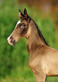 Buckskin Akhal-Teke foal