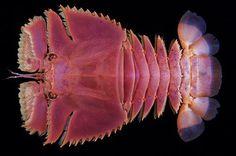 Japanese Fan Lobster (Ibacus ciliatus)