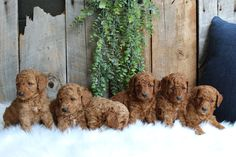 💖😊💮 Energetic and playful, these adorable Miniature #Poodle puppies would love to smother you with puppy kisses while being adored and loved on. They will steal your heart when you meet them. #MiniPoodle #LancasterPuppies www.LancasterPuppies.com Mini Poodle Puppy, Poodle Puppies For Sale, Mini Poodles, French Poodles, Phantom Poodle, Poodle Haircut, Puppy Quotes, Poodle Grooming, Lancaster Puppies