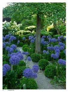 Um jardim para cuidar: Uma flor indispensável ao seu jardim no verão.. o agapanto.. (Agapanthus)