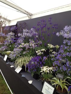 Agapanthus display, a stunning Summer plant at The Southport Flower Show Southport Flower Show, Summer Plants, Stunning Summer, Agapanthus, Display, Flowers, Floor Space, Billboard, Royal Icing Flowers