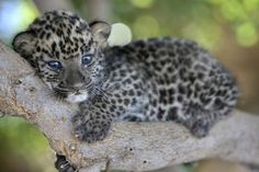 Baby leopard <3