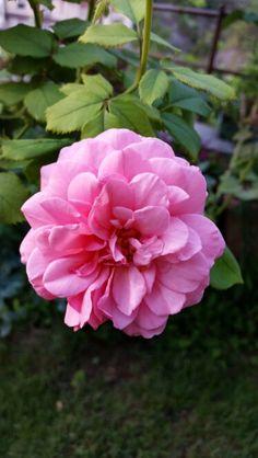 "Rosa ""Alexandra of kent """