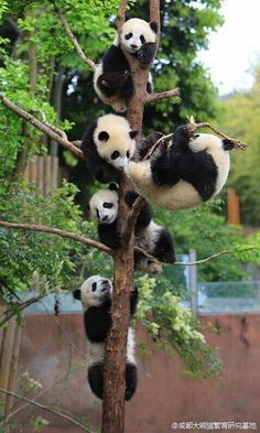 "The giant panda (Ailuropoda melanoleuca, lit. ""black and white cat-foot"") is a bear native to south central China..."