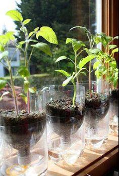 Reuse 2 liter bottles in Self-Watering Seed Starter Pots