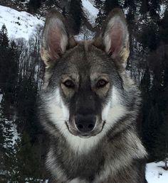 Looks like a German Shepherd/Wolf cross to me. Beautiful Dogs, Animals Beautiful, Utonagan Dog, Tamaskan Puppies, Wolf Hybrid Dogs, Animals For Kids, Cute Animals, Northern Inuit Dog, Doggies