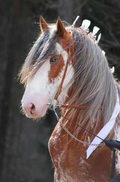 Draft horse - Clydesdale horse