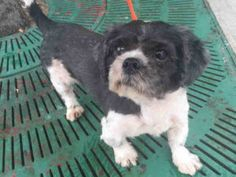 Brooklyn Center THOR – A1092858  MALE, GRAY / WHITE, SHIH TZU MIX, 5 yrs STRAY – STRAY WAIT, NO HOLD Reason STRAY Intake condition EXAM REQ Intake Date 10/08/2016, From NY 11203, DueOut Date 10/11/2016,